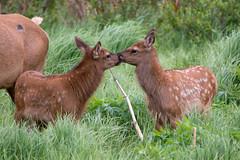 Kissing Calves (RkyMtnGrl) Tags: elk calves kissing wildlife highway7 estespark colorado june 2018 nikon tamron150600mm