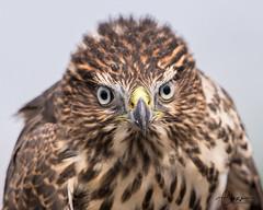 Immature Cooper's Hawk (C-Brese) Tags: cbresephotography bird bonneybutte oregon hawkwatch hawkwatchinternational birdofprey raptor wildlife accipitercooperii accipiter coopershawk hawk immature juvenile hatchyearfirstyearhatchyear young