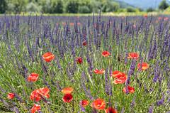 A natural bouquet (E.K.111) Tags: apt provencealpescôtedazur france fr flowers red purple lavender bokeh