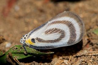 Bythopsyrna circulata - a tropical planthopper