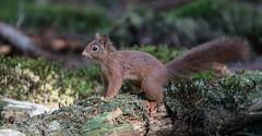 DSC05388rawcon_a (ger hadem) Tags: gerhadem veluwe eekhoorn kruisbek goudvink zwijn edelhert hubertus