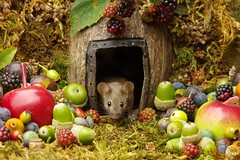wild mouse with fruits and berry's (1) (Simon Dell Photography) Tags: wild george log pile house mouse nature garden animal rodent cute fun funny summer fruits berries berrys display lots bounty moss covered simon dell photography sheffield 2018 aug cool awesome countryfile ears close up high detail cards design
