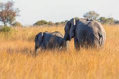 Move Along (mclcbooks) Tags: elephant elephants okavangodelta botswana africa splashcamp safari animals wildlife grass