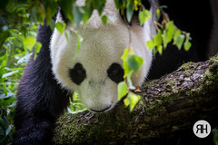 Bamboo Blues (RonHui) Tags: ouwehands zoo animals dier beest dieren dierentuin