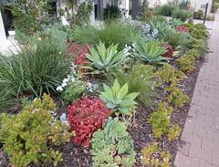 A Mostly Succulent Garden (mikecogh) Tags: brighton garden succulents nandinadomestica footpath pavement