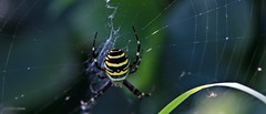 Wasp Spider J78A0477 (M0JRA) Tags: bugs butterfly flowers grass fields parks woods lakes ponds gardens spiders