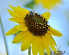 DSC_0838_What is the air speed velocity of a fully-laden honeybee? (sdttds) Tags: bee honeybee apismellifera insect pollinator hymenoptera davis centralpark farmersmarket flower yellow sunflower helianthus