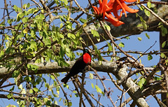 ScarletSunBird (Wolfram Burner) Tags: kruger sa southafrica wildlife conservation natural history naturalhistory wolfram burner africa