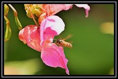 """Waspish..."" (NikonShutterBug1) Tags: nikond7100 tokina100mm hoverfly insect entomology nature wildlife bokeh spe smartphotoeditor closeup macro flower flora fauna wasp"