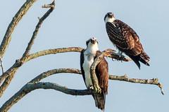 Osprey Everwhere (mattbpics) Tags: osprey fishhawk pandionhaliaetus canon 70d tamron 150600 150600mm nature wildlife longbeach stratford connecticut