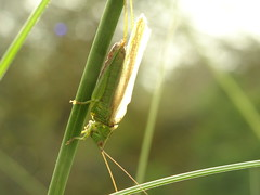 (degreve.sarah) Tags: insect cricket sun green