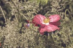 Bee at work (janetfrerichs) Tags: poppy redpoppy red bee germany nature nikon closeup flower focusonforeground fullframe vollformat d610 blume mohnblume klatschmohn biene natur deutschland entsättigt