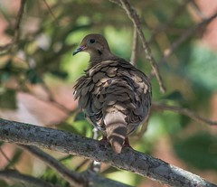 A Little Ruffled (ACEZandEIGHTZ) Tags: mourning dove feathers bokeh branches zenaida macroura backyard birdwatcher coth coth5 specanimal sunray5