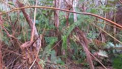 Big Island Ferns (Stabbur's Master) Tags: hawaii hawaiianislands bigisland kilaueacrater hawaiivolcanoesnationalpark usnationalpark nationalpark kilaueaikicrater kilaueaikitrail
