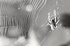 spider cobwebs (Cosentino Aran) Tags: cobwebs nature spider forest sun italy insect blackandwhite monocromatico