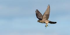 Snack on the Go (Alexandre Légaré) Tags: faucon émerillon merlin falco columbarius oiseau bird wildlife prey fly envol vol flying falcon nikon d7500