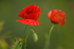 Mariposas de abril (sdrobkov) Tags: flores flora amapolas primavera rojo verde naturaleza nikkor nikond500 nikkor7020028vrii macro