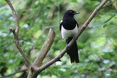Magpie (jpotto) Tags: uk lancashire leightonmoss rspb bird corvid magpie