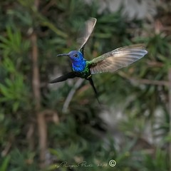 _DSC0386 (Roger Hummingbirds) Tags: animal nature bird birds colibri wildlife hummingbird wings flight feeder flower nectar south america rain forest color colorful colour fly flying spread blue green delicate flora floral beauty inflight ornithology wild brazil beijaflor tesourinha kolibrie feathers outdoor verde azul natureza do sul vôo voando delicado flores