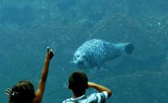 Un phoque curieux (myvalleylil1) Tags: france bretagne brest aquarium oceanopolis