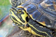 Kilpkonn (Jaan Keinaste) Tags: olympussh1 eesti estonia elusloodus fauna kilpkonn turtle kilpkonnalised testudines