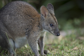 Red-necked Pademelon - Thylogale thetis