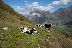 welcome to Andermatt (UR) (Toni_V) Tags: m2409229 rangefinder messsucher leicam leica mp typ240 type240 28mm elmaritm12828asph hiking wanderung furkabelvédèreandermatt andermatt alps alpen uri cows kuh kühe animal trail wanderweg sentiero switzerland schweiz suisse svizzera svizra europe ©toniv 2018 180915 oberalppass
