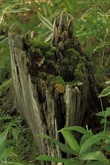 折れ残った木の根元 / dry (yasushiinanaga) Tags: canoneos6d ef2470mmf4lisusm 70mm