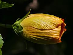 Flower (LuckyMeyer) Tags: flower fleur sun light green yellow makro garden hibiskus summer