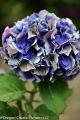 antique purple hydrangea (Oregon Coastal Flowers) Tags: aging purple hydrangea antique