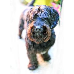 The guardian.. (Robyn Hooz) Tags: penelope bloody bafforosso moustache fur dog pet cane cucciolo zampa paw bark bau nofear guardiano