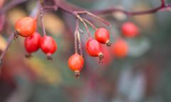 low hanging fruit (Francis Mansell) Tags: fruit rosehip rose plant twig branch dof depthoffield blur bokeh kew kewgardens royalbotanicgardenskew macro berry