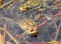Kröte 1 toad (Chridage) Tags: toad kröte frog frosch teich pond