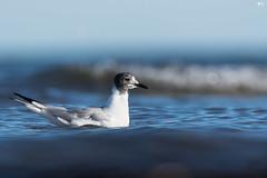 ''Vague!'' Mouette bonaparte-Bonaparte's Gull (pascaleforest) Tags: oiseau bird animal passion nikon wild wildlife faune îlesdelamadelaine québec canada bokeh vague wave eau water mer sea