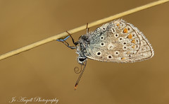 Common Blue (jo.angell) Tags: common blue butterfly buckinghamshire meadow macro coiling