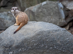 Meerkat (802701) Tags: 201809 43 alba britain britishisles em1 em1markii em1mkii edinburgh edinburghzoo europe gbr greatbritain mft micro43 omd omdem1 olympus olympusomdem1 olympusomdem1mkii scotland theuk theunitedkingdomofgreatbritainandnorthernireland uk unitedkingdom capital capitalcity fourthirds microfourthirds mirrorless photography travel travelling zoo meerkat