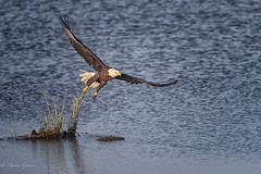 So Long (dngovoni) Tags: action background bird bombayhook delaware eagle raptor summer water wildlife