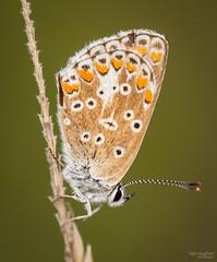 Common Blue (Mr Aylesbury) Tags: 2018 countryside macro buckinghamshire england dmcgx8 uk butterfly bucks lumix closeup commonblue insect chilterns karlvaughan panasonic