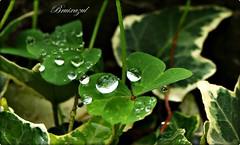 Tréboles (bruixazul poc a poc...) Tags: hiedra hojas lluvia gotas bosque reflejo verde raindrops prismadecolores trébol