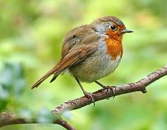 Robin (eric robb niven) Tags: ericrobbniven scotland wildlife wildbird nature springwatch morton lochs tentsmuir