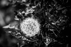 blow (geekyjj) Tags: dandelion nature walk park grass blackandwhite contrast plant weed