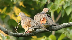 Doves (blazer8696) Tags: 2018 brookfield ct connecticut ecw obtusehill t2018 tabledeck usa unitedstates bird columbidae columbiformes dove img0902 macroura modo mourning mourningdove zenaida zenaidamacroura zenmac