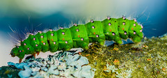 Caterpilla ! (KevinBJensen) Tags: nature natural light photograph pics insect worm green caterpilla closeup view micro trees forest wild life sunlight summer sunny sweden sweet beautiful side