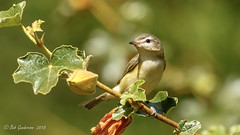 Warbling Vireo (Bob Gunderson) Tags: birds california elkglenlake goldengatepark northerncalifornia sanfrancisco vireogilvus vireos warblingvireo