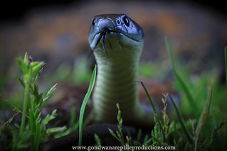 eastern tiger snake portrait