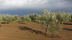 El Olivar en la Vega (Micheo) Tags: granada spain vegadegranada tormenta lluvia nubes clouds olivares olivos tierras olivegrove panoramica