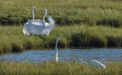 Dancing in the Air (marielochphotography) Tags: egret dancing white water marsh blue grass bird forsythe wildlife refuge
