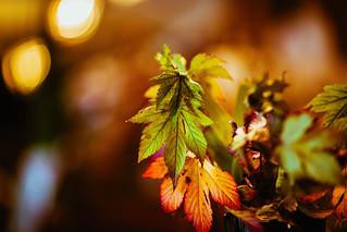 Evening Foliage
