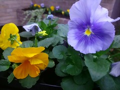Viola (Menyhert) Tags: flower flowers viola colors color colorful yellow blue beautiful beauty