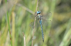 Southern Migrant Hawker (Aeshna affinis) 1 of 2 images (willjatkins) Tags: wildlife nature animal animalportrait insect dragonfly dragonflies dragonfliesanddamselflies odonata southernmigranthawker aeshna aeshnaaffinis europeanwildlife europeaninsects europeanodonata europeandragonflies ukwildlife ukodonata ukdragonflies ukdragonfly ukdragonfliesanddamselflies essexwildlife essexdragonfly closeupwildlife closeup macro macrowildlife nikond610 nikon sigma105mm